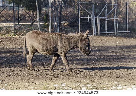 Beautiful donkey walking in autumnal farmyard, Sofia, Bulgaria