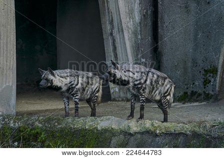 Two Striped hyenas look aggressively, Sofia, Bulgaria