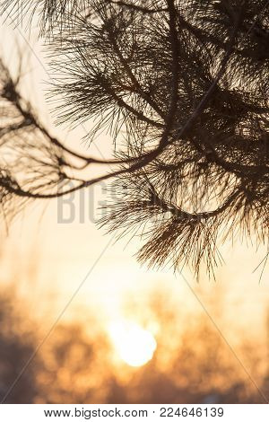 conifer tree at sunset in nature . In the park in nature