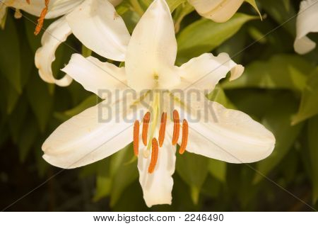 A single white lily closeup of stamen and petels poster