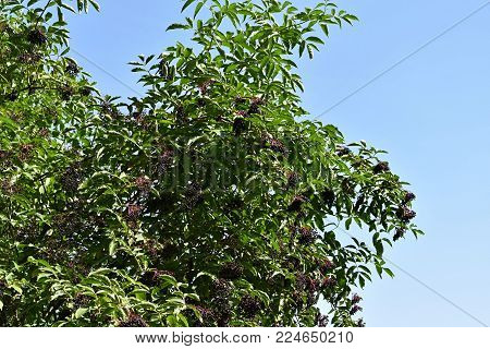 Black elderberry fruits (Sambucus ). Medicine fruit wild