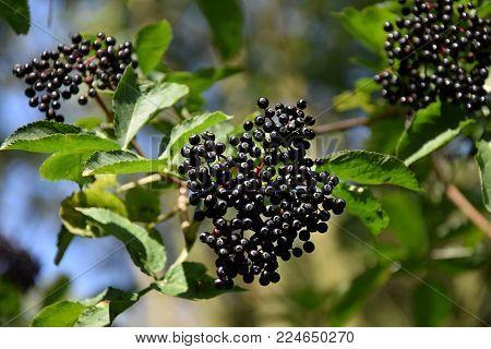 Black elderberry fruits (Sambucus ) close-up. Medicine plant wild