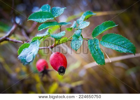 a rose hip branch with red berries and dew drops on the leaves