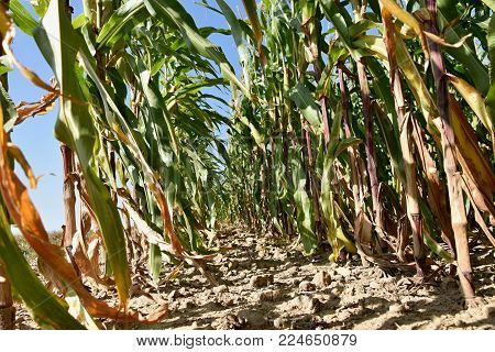 Field with corn. Roots of mature corn cobs.