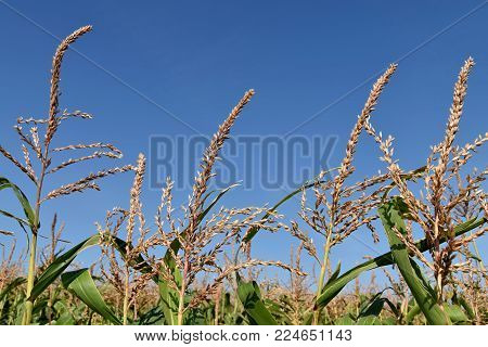 Field with corn. The top of mature corn cobs