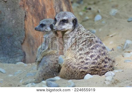 Meerkat cub with adult meerkat. Meerkats belong to the species of mongooses. They live in arid regions in southern Africa, for example in Botswana, Angola and South Africa. Preferably, they occur in semi-deserts and in the savannah. Their social behavior