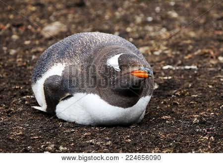 Gentoo Penguin Sleeping. Falkland Island. Fat, round, happy, smiling and contended.