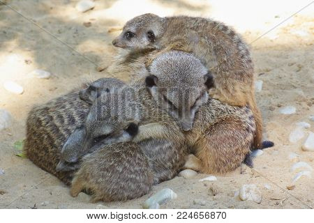 Sleeping Meerkat - family. Meerkats belong to the species of mongooses. They live in arid regions in southern Africa, for example in Botswana, Angola and South Africa. Preferably, they occur in semi-deserts and in the savannah.