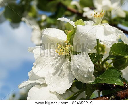 Flower to aple trees in garden with drop of water on washed away background