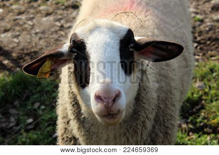Closeup of white sheep head with black patches around her eyes and ears