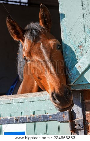 Closeup on Bay horse out head here in his box in the stables