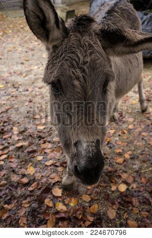 grey donkey front view with autumn leaf covered ground