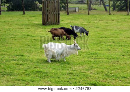 Goats in farm. Goats in field. Goats with different colors. Summer season. poster