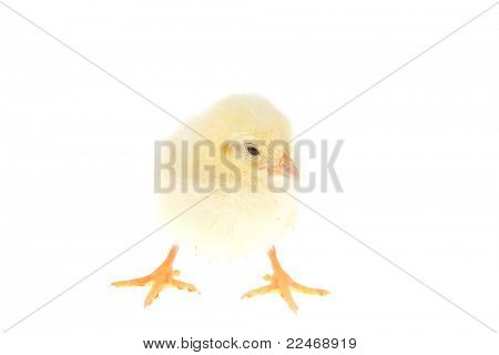 live little yellow chicken animal isolated on white background poster