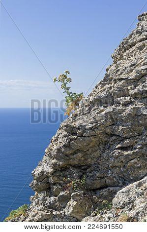 A flowering plant on the coastal rock. Sunny day. Crimea.