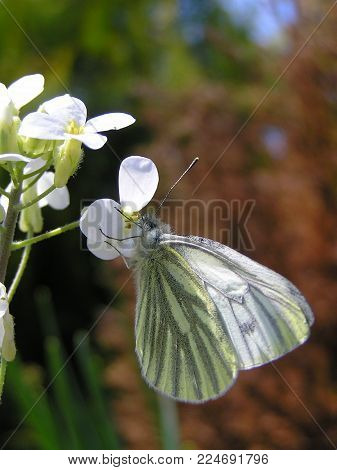 White butterfly (Pieris napi) in the garden on yellow-white flowers