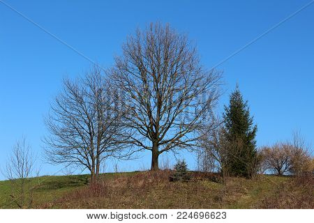 Mighty tall tree without leaves surrounded with one smaller and tall pine on each side and other smaller vegetation on hilltop on cold, but sunny winter day with clear blue sky in background