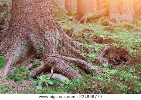 Background Root Tree In Green Forest In Europe.