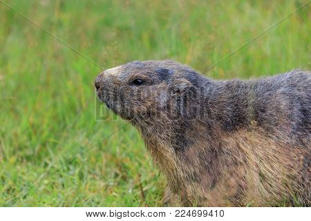 Alpine marmot (Marmota marmota) in grass. French Alps