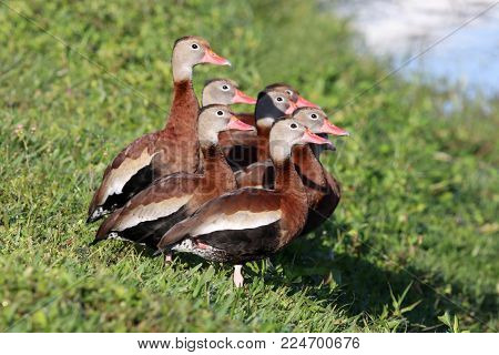 A group of Black-bellied Whistling Ducks, Dendrocygna autumnalis at the edge of a pond in Florida