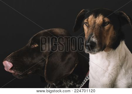 Sleepy dogs at home. Two cute dog portrait. Friendship concept. Terrier and German pointer dog resting at home.