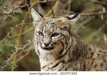 Beautiful Closeup of Bobcat Face showing gorgeous eyes, tipped ears, gorgeous markings.
