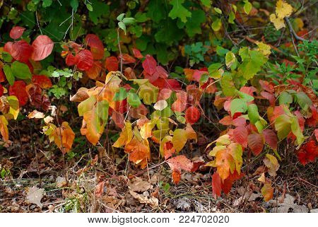 Itchy, Colorful Poison Ivy Leafs in Fall Colors. Gold, green, red, crimson, brown, 3 serrated leafs.