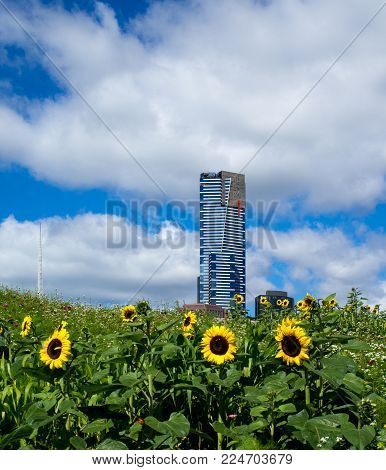 AUSTRALIA, MELBOURNE - JANUARY 16, 2015: Sunflowers in front of the Eureka Tower  on sunny day.