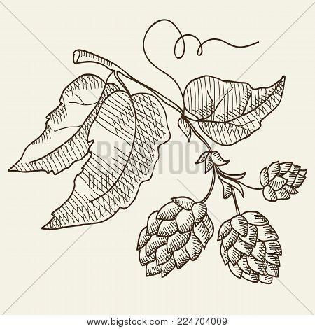 Abstract organic eco vintage light concept with beer herbal hop plant in sketch style isolated vector illustration