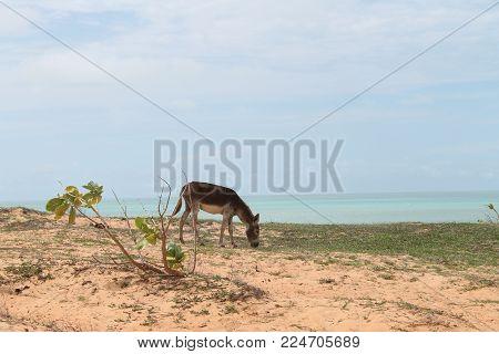 A Free Donkey In Jericoacoara - Ceara - Brazil