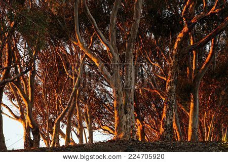 A grove of eucalyptus trees is dramatically illuminated by the red light of the setting evening sun at the Batiquitos Lagoon in Carlsbad, California.