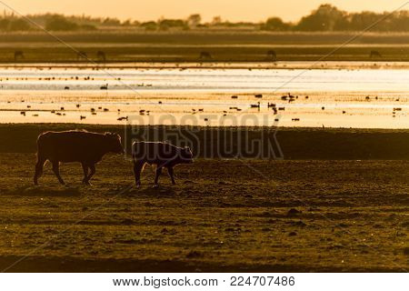 Heck cattle (cow and calf) walking in meadow, backlit during sunset. Birds and deer in background in nature reserve Oostvaardersplassen, The Netherlands