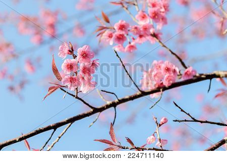Beautiful Wild Himalayan Cherry Blossom In Phu Lom Lo
