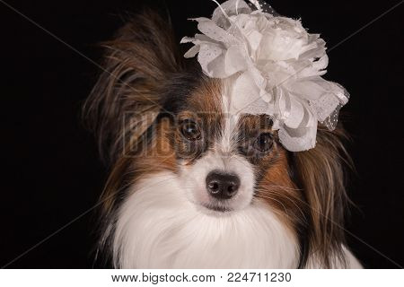Beautiful dog Continental Toy Spaniel Papillon with a white bow on his head on a black background
