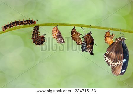 Transformation From Caterpillar To Great Eggfly Butterfly ( Hypolimnas Bolina Linnaeus ) On Twig
