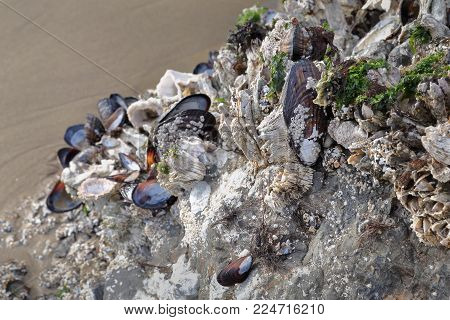 Mussels And Barnacles. Mussels And Barnacles Growing On A Rock In A Tidal Pool In The Pacific Northw