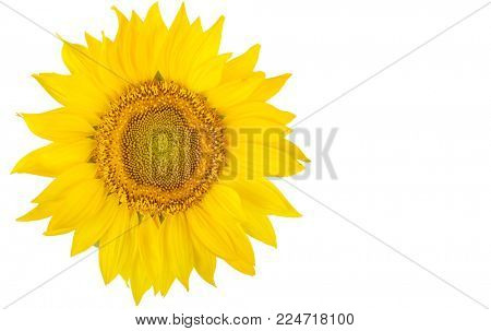 Sunflower flower close-up isolated on white background. Free space for text.