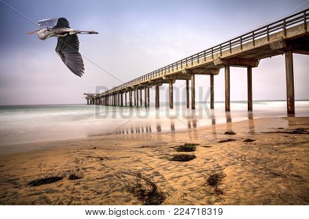 Great blue heron over an Overcast cloudy day over Scripps pier Beach in La Jolla, California at the end of Summer
