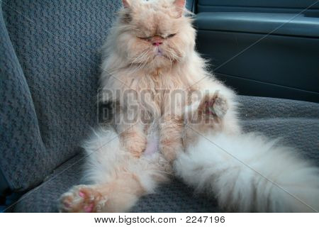 The House Favourite Persian Cat