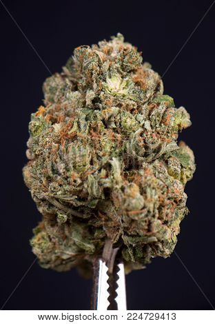 Detail of dried cannabis bud (scout master strain) isolated over black background