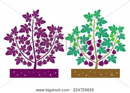 isolated fig plant with fruit vector illustration