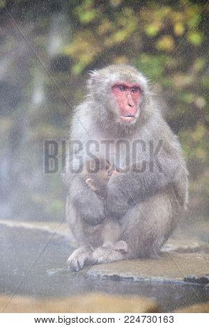 Snow Monkey At The Edge Of The Hot Spring Pool (onsen) At Jigokudani Monkey Park In Nagano Prefectur