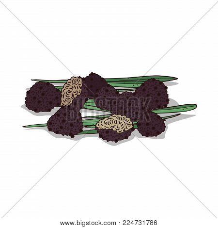 Isolated clipart of plant Truffle on white background. Botanical drawing of herb Black truffle mushrooms with mushrooms and leaves