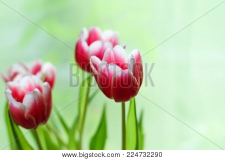 Bouquet Of Beautiful Bright Spring Tulip Flowers.