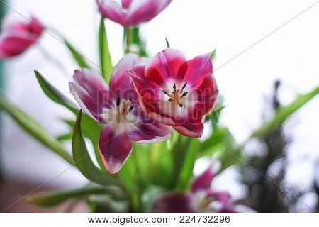 Bouquet Of Beautiful Purple Spring Tulip Flowers.