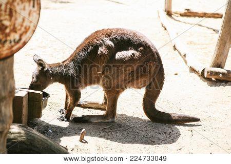 brown kangaroo eating water in the zoo