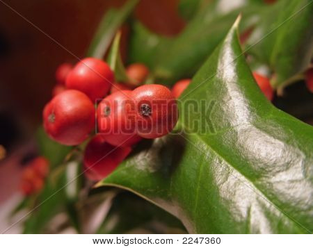 Holly Leaf & Berries Close-Up