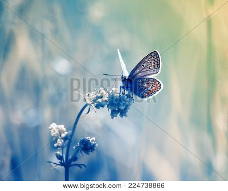 Little Blue Butterfly, Copper-butterfly Sits On A Beautiful  Fairy Meadow