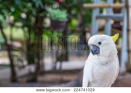 Yellow-crested Cockatoo bird with blur background behind