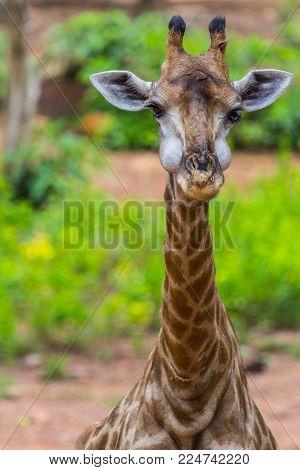 Face of Masai giraffe eating peaks around bush